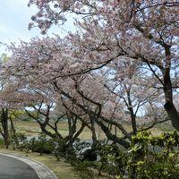 日本平の桜とマグロ