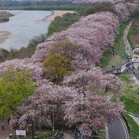 京都の人気桜スポット背割り堤はやっぱり凄かった!