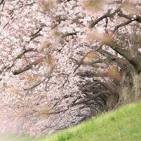 【カメラ旅】見ごろの桜をさがして〜背割堤、本願寺、京都御苑、二条城〜