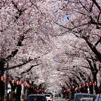 青森市内の隠れた桜の名所『桜川団地・花のトンネル』をくぐって街歩き〜棟方志功,ねぶた,青函連絡船,春なのに♪津軽海峡冬景色