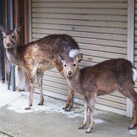 雨の奈良公園、鹿さんたちも雨宿り
