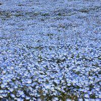 GWは近場でgo−� 話題のネモフィラのお花畑!