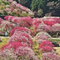 阿智村  満開の花桃と満天の星空