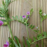 大阪府立「花の文化園」・・・ 5月は オオデマリ、クレマチス、薔薇が見頃です♪