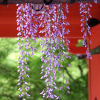 傘寿を越えて 奈良旅を −9 春日大社 藤の花