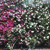 お〜やまぁ!なんて素敵♪栃木の旅・その�〜満開のローズ・ガーデンをたずねて〜