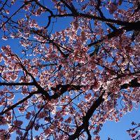 一足先に春が来た!桜まつりと梅まつり