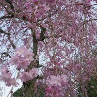 下田は桜が満開でした