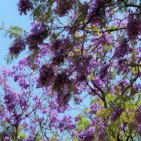 Spain32 セビリア 公園/街路にジャカランダ咲いて ☆タパス昼食・コロンブスの記念碑