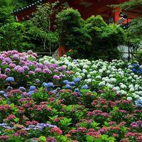 京都 紫陽花めぐり〜岩船寺、三室戸寺