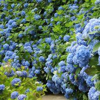 梅雨の晴れ間の男鹿半島 紫陽花ブルーの雲昌寺