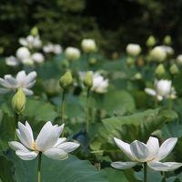 猛暑の中、鎌倉の花散歩♪ (体に悪いかも)