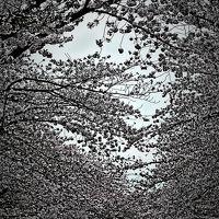 上野・桜-2 上野公園  見ごろ続く/花見客は減ったけど ☆月曜の閑静な夕べ