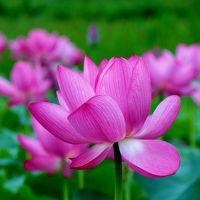 那須町黒田原地区の休耕田に咲く、美しい蓮の花に魅せられて。