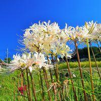 秩父・白い彼岸花咲く寺坂棚田、札所を巡り西武秩父駅まで歩きました。