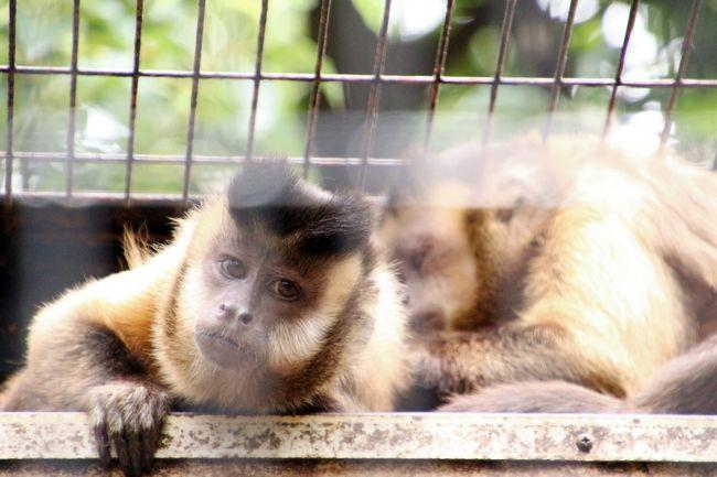 夢見ヶ崎動物公園は、レッサーパンダ以外あまり見るべき動物がいないと失礼なことを思っていた時期がありました。<br />それは私がレッサーパンダが特に気に入って、動物園めぐりを重ね始めた頃です。<br />あの頃は、他の動物については、珍しいと思えた動物以外、あまり眼中にありませんでした。<br />それにもともと写真が撮りたくて動物園に行っていたので、写真が撮りにくい檻の中にいて、動きがすばしっこいサルたちは、スルーしていたからでした。<br /><br />前回2017年2月に夢見ヶ崎動物公園を訪問した時は、まだどの動物園も鳥インフルエンザ防止策で鳥の展示を制限していた時期でした。<br />夢見ヶ崎動物公園でも、フンボルトペンギンをはじめ、鳥がいるところは立入禁止になっていて、レッサーパンダ以外で見られる動物が極端に減ってしまいました。<br />そのときはじめて、当園のキツネザル舎に気付き、他園でめったに見かけないブラウンキツネザルをはじめ、飼育されているサルたちの種類の多さに驚きました。<br /><br />なので今回は、レッサーパンダ以外では、キツネザルたちや、それから再び見られるようになっていたペンギンといった鳥たちを見るのも楽しみにしていました。<br />ボリビアリスザルには赤ちゃんがいましたし、クロキツネザルの黒くない茶色いメスは初めて見ました(よく考えたらブラウンキツネザルだったかも)。<br />そもそもクロキツネザルは、市川市動物園のモカおじいちゃんしか知りませんでした。<br /><br />※モカおじいちゃんの写真がある関連の旅行記(2016年5月22日)<br />「まぶしい初夏の花盛りの京成バラ園とレッサーパンダ詣2016(4)1年ぶりの市川市動物園のレッサーパンダたちも可愛いかったし、15頭の大家族ミーアキャットやなかなか流れない流れカワウソやクロキツネザルのモカおじいちゃんにも夢中@」<br />http://4travel.jp/travelogue/11134988<br /><br />フサオマキザルは、女の子でもおじさん顔のサルだと思っていましたが、思った以上に顔つきに違いがあって、とても可愛らしい子もいました。<br />キツネサルたちは、目をぱっちり開けているか、伏し目かによって表情が印象が変わるのも面白かったです。<br /><br />また、レッサーパンダ展示場の隣にいるマーコールは、家畜としてなじみのあるヤギ科ですし、自宅に近い動物園で群れが見られるので珍しいと思わず、動物園で見られることをあまり貴重なことだと思っていませんでしたが、乱獲による絶滅危惧種であったことに、最近気付きました。<br /><br />そんなわけで、今回はレッサーパンダが家族4頭そろい、午前中、ちょっと寝ては誰かしらすぐ目覚めて笹を食べたりなど、本格的な昼寝には入らなかったので、時間を忘れて見ていられたこともありましたが、他の動物たちめぐりでも、もっと時間があっても良かったと思ったくらいでした。<br /><br />* * * *<br /><br />本日9月3日は、ほんとは清瀬のひまわりを見に行こうと思っていました。<br />今年はひまわりの開花状況がいつもより遅いからか、ひまわり祭りは9月3日まで延長になっていたので、まだ間に合うと思ったのです。<br />ところが、一番の見頃は8月第4週目の先週末でした!<br />たしかにいつもより一番の見頃の時期は遅めでしたが、なんでひまわり祭り最終日でも間に合うと思ったのでしょう。<br />見頃のひまわりはまだ残っていたと思いますが、この上ない見頃のときに訪れることができていたので、見晴らし台からのひまわりがみんな下を向いてしまって一面緑の畑となってしまった時期に訪れるのは忍びなく、本日は動物園に行くことにしたわけです。<br /><br /><まだ早いかと危ぶんだところが思いがけないレッサーパンダ日和となった夢見ヶ崎動物公園と野毛山動物公園めぐりの1日の旅行記のシリーズ構成><br />□(1)夢見ヶ崎動物公園(前編)レッサーパンダ特集:もう一頭のおでこちゃんに会いたくて~稀有な親子4頭展示で父息子と母娘の仲良しぶり<br />■(2)夢見ヶ崎動物公園(後編)キツネザルたちが楽しくて半日では足らないくらいだったその他の動物たち<br />□(3)野毛山動物公園(前編)レッサーパンダ特集:早くも屋外展示のみとなったキンタちゃんとケンケン&野毛山でははじめましてのキクちゃん<br />□(4)野毛山動物公園(後編)チンパンジーやフサオマキザルの赤ちゃんやその家族の構いぶりが可愛らしくて他<br /><br /><タイムメモ><br />06:45
