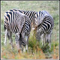 南米大陸から意外に近いアフリカ大陸、3度目のアフリカ探索の旅ーサンシティ(Sun City)野生動物を見て 初めてアフリカにいる事を自覚する#1(Pilanesberg National Park/ヨハネスブルグ/南アフリカ)
