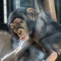 残暑のない秋らしく思いがけないレッサーパンダ詣日和となった9月上旬の新川崎と横浜めぐり(4)野毛山動物公園(後編)チンパンジーやフサオマキザルの赤ちゃんやその家族の構いぶりが可愛らしくて他