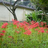 鎌倉の古寺に彼岸花(曼殊沙華)を尋ねて