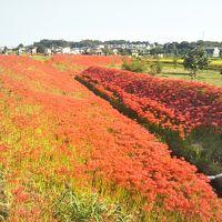 2017矢勝川の彼岸花が見頃を迎えます。