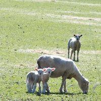 クイーンズタウンにも子羊のシーズンがやってきてます。