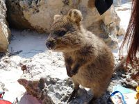 ついにクオッカに会った〜!ロットネスト島を楽しんだ、パース前半。