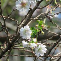 秋の花を求めて川越・下松原、下赤坂地区をサイクリングする�ジュウガツザクラ他を見る