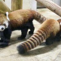 Hello!待望のレッサーパンダのハナビちゃんの赤ちゃん!〜雨の日に会いに行った公開2日目の埼玉こども動物自然公園〜成長記録のスライド写真付のレッサーパンダ特集