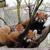 王子動物園 レッサーパンダの双子の赤ちゃん公開 レッサーツインズ誕生 【神戸市 王子動物園】