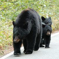 カナディアンロッキーの美景 クマの存在(コンソレイション レイクス 〜 カナナスキス インディファティガブル)