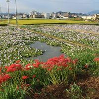 奈良*橿原神宮&本薬師寺跡へ*地元の小学生達が定植したホテイアオイを観に行きました
