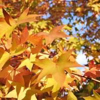 フルーツの丘の紅葉がいい感じ(10月31日・2-1)