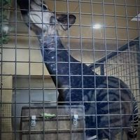 上野Zoo 2 オカピ(珍獣)*キリンの仲間 ☆世界22園で42頭のみ飼育