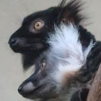 上野Zoo 3 クロキツネザル*マダガスカル島の固有種 ☆雌雄で異なる体毛色