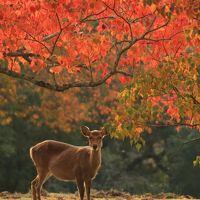 奈良 紅葉めぐり〜奈良公園、吉城園、依水園、圓成寺