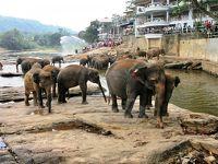 大満喫スリランカ6日間の�〜紅茶工場とピンナワラ(象の孤児院)