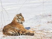 114. 極寒の哈爾賓、シャングリラステイ&東北虎林園でトラを見る。