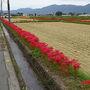 ●彼岸花@曽我部町  JR亀岡駅からバスに乗って、学園大前の南条で下車。 歩き始めました。 咲いてます、彼岸花。