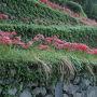 昨夜に出発。うきは市の道の駅で仮眠。 早朝から現地へ。  途中にも棚田がありヒガンバナも咲いてました。