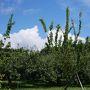 台風が通り過ぎ、りんご畑が気持ちの良い朝です!
