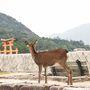 翌朝、旅行の時は恒例の朝活です。 6時起きして嚴島神社の方へ。 鹿さんも早起きです。