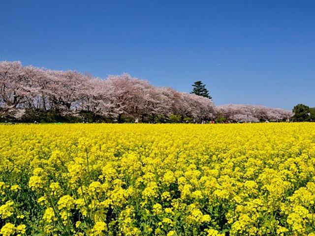 特集「日本全国お花見おすすめスポット 2015」